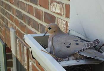 A bird is breeding in the gutters.